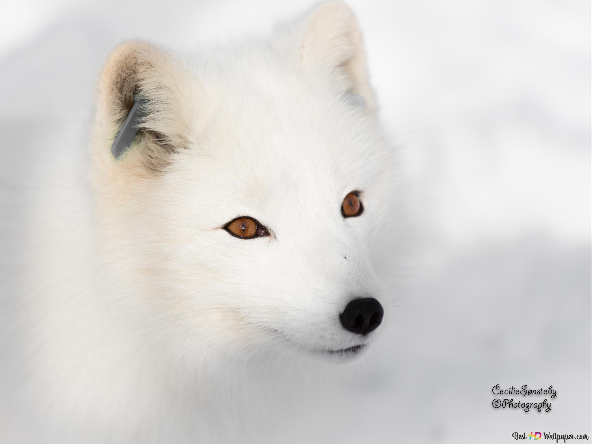 Volpe Artica Download Di Sfondi Hd