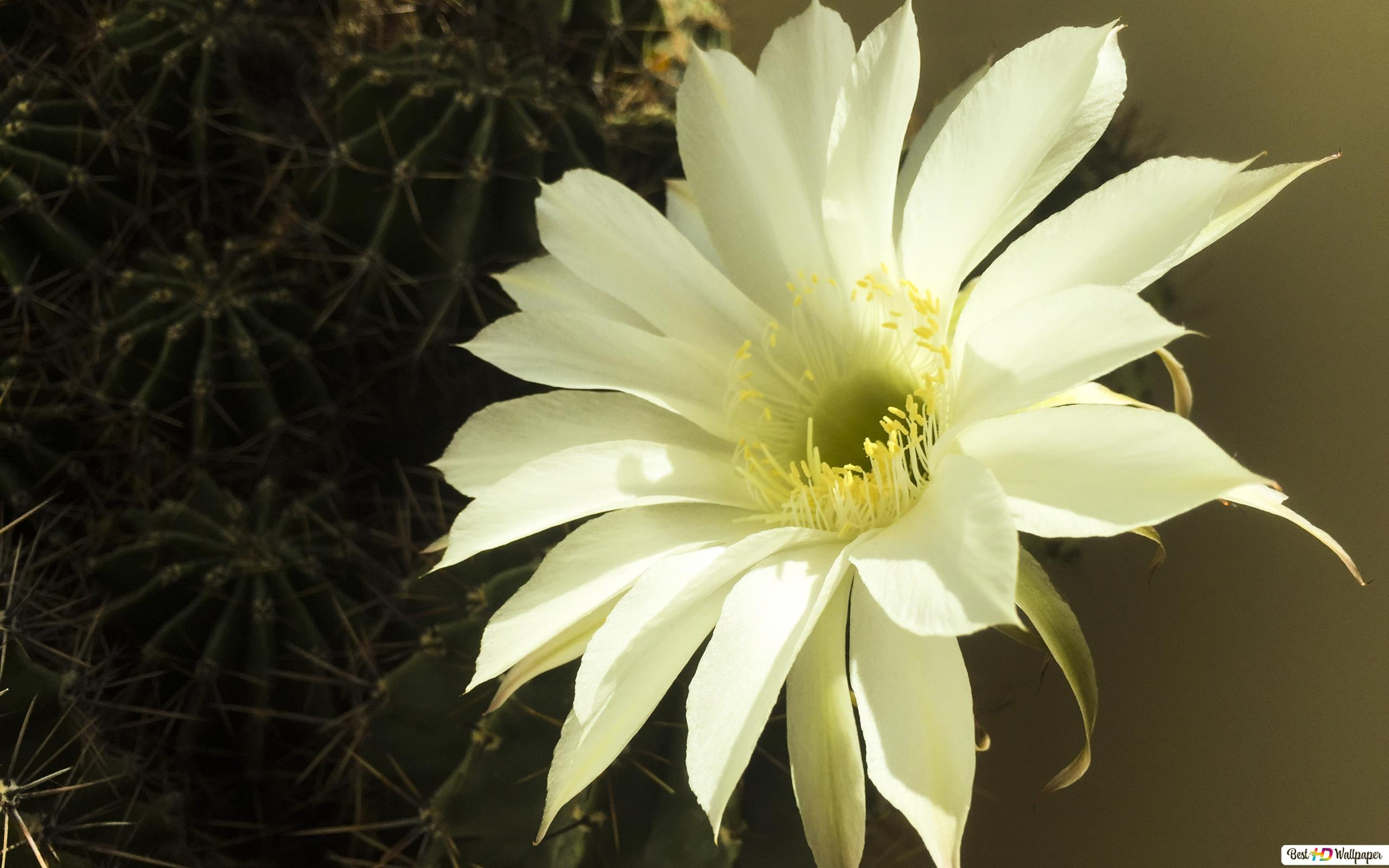 White Cactus Flower Hd Wallpaper Download