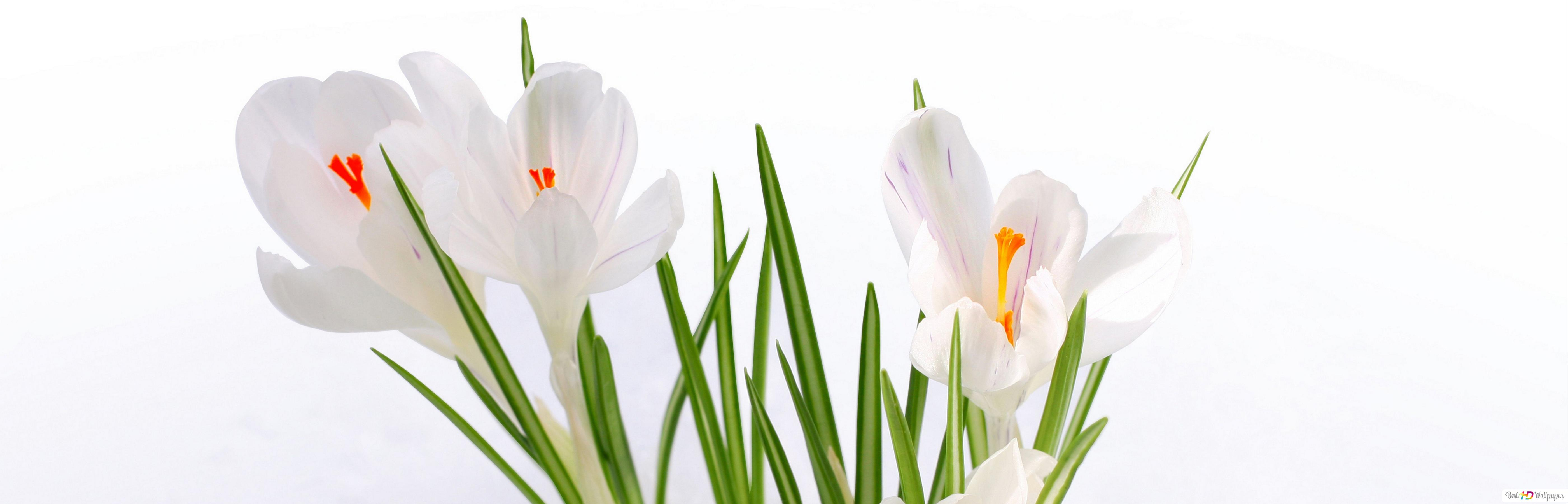 White Crocus Flowers In The Snow Hd Wallpaper Download