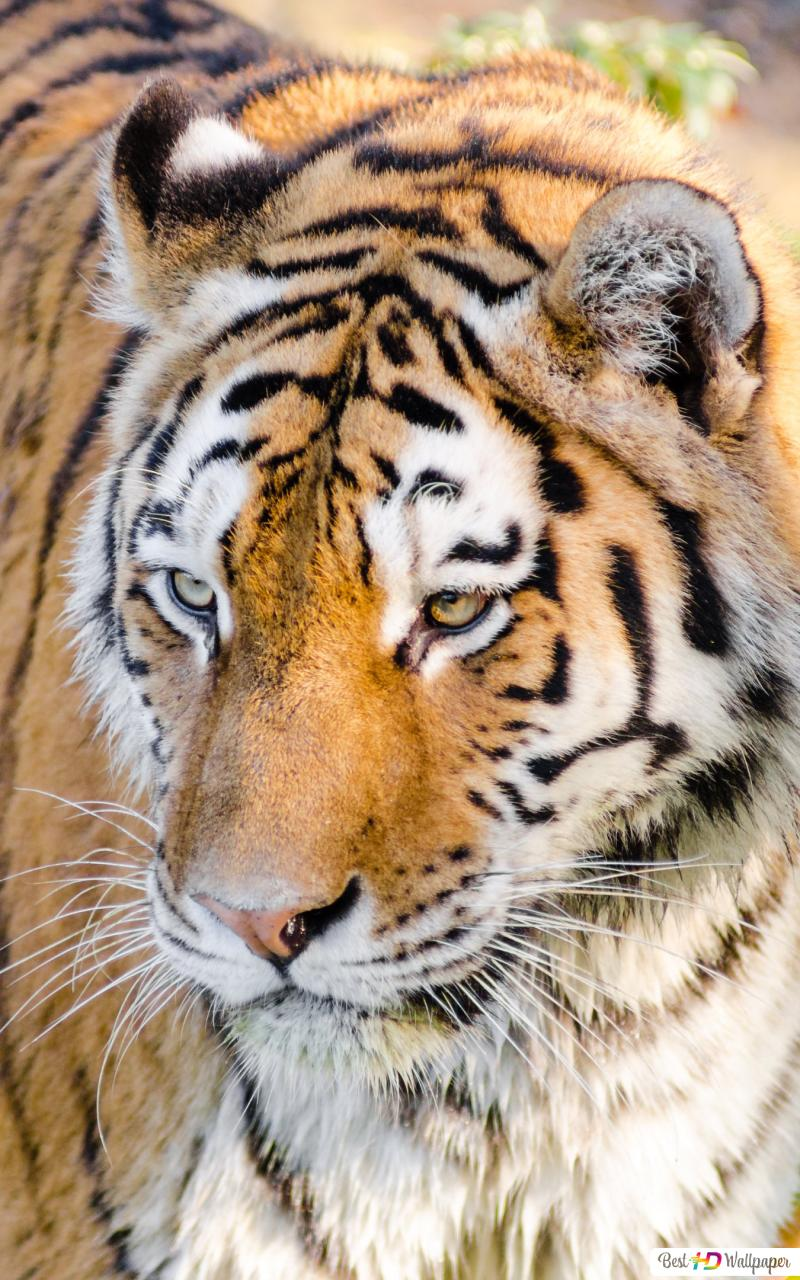 Wild Cat Tiger Hd Wallpaper Download