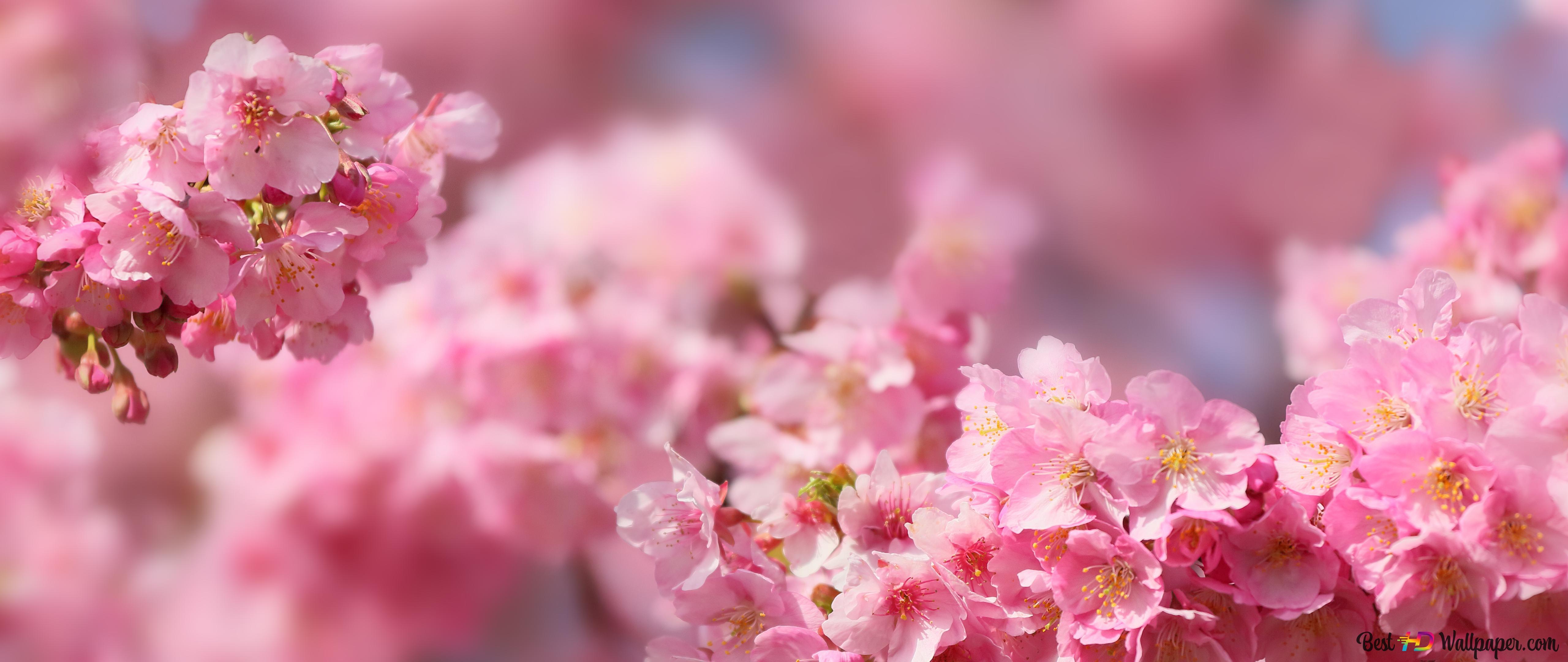 桜の花 Hd壁紙のダウンロード