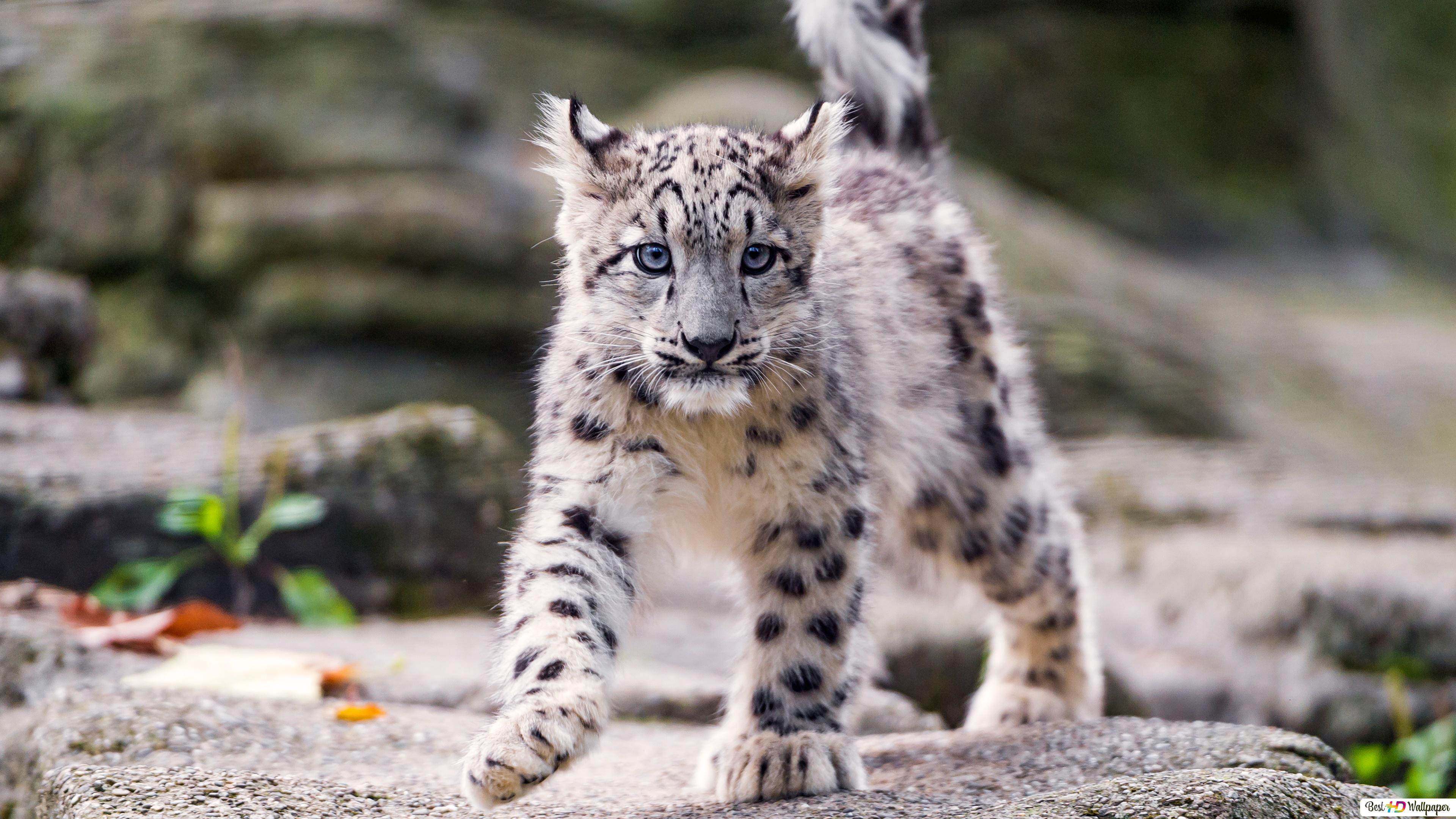 Young snow leopard HD wallpaper download