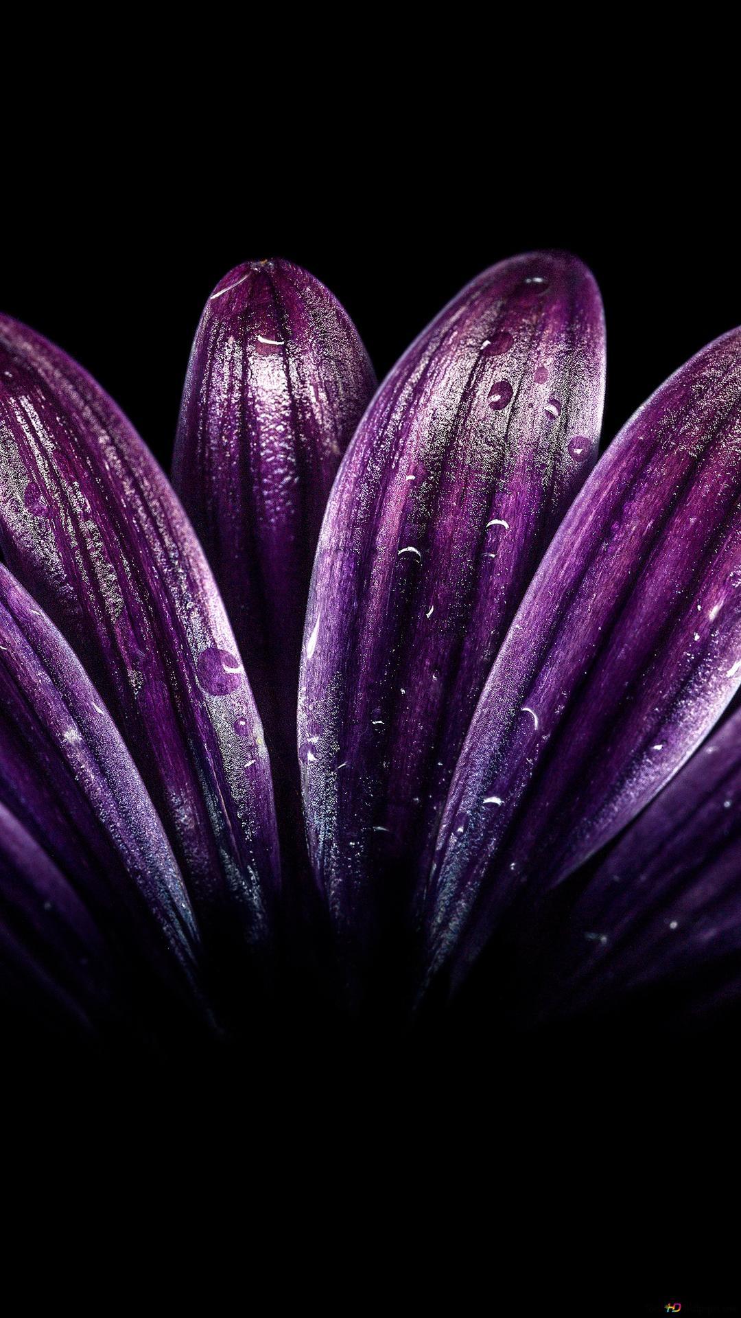 紫色の花びらの滴 Hd壁紙のダウンロード